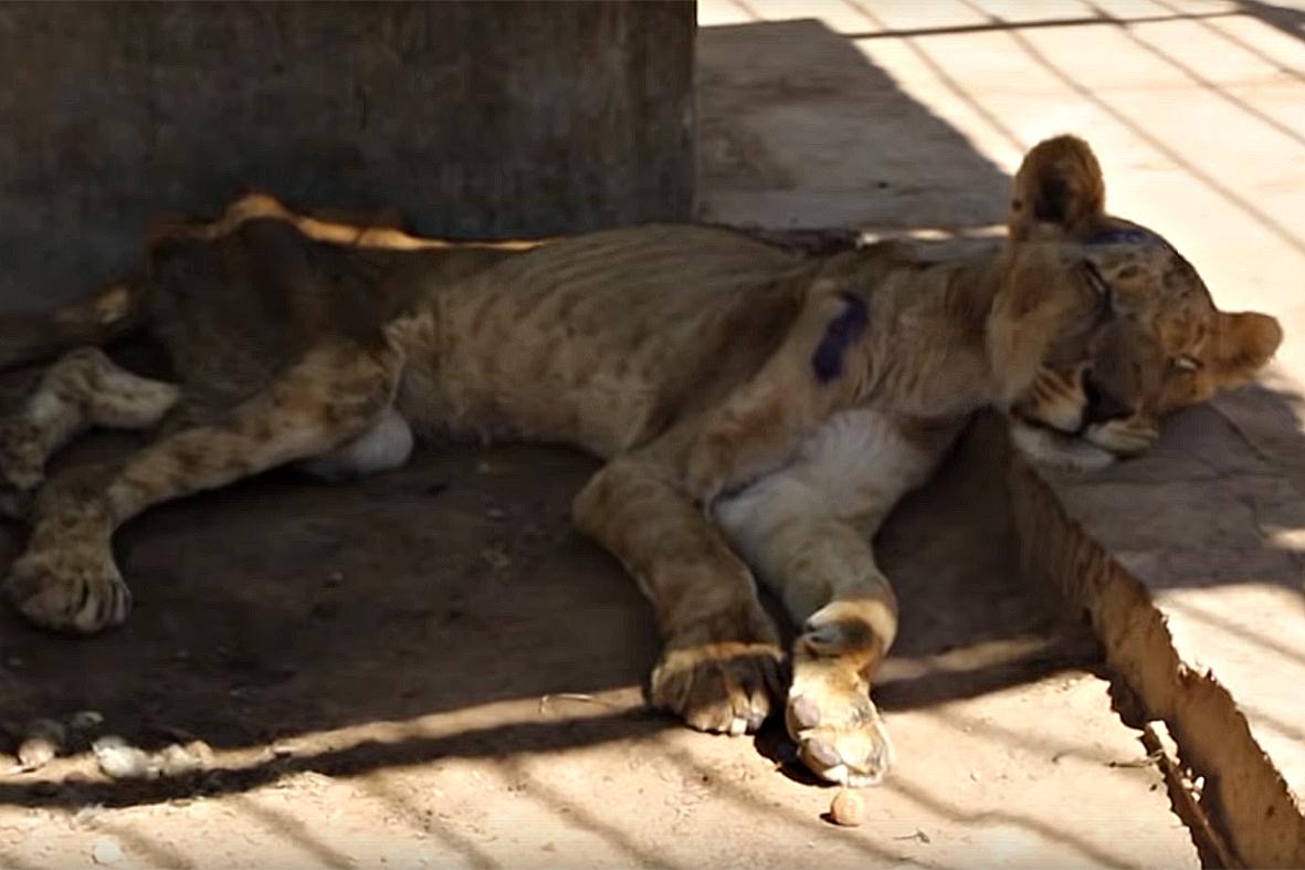 Qualen im Zoo: Löwin ist im Sudan elend verhungert