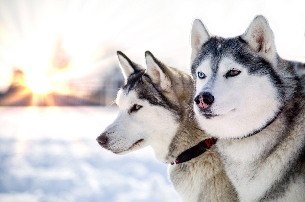 Zwei Huskys mit Giftköder in eigenem Gehege getötet