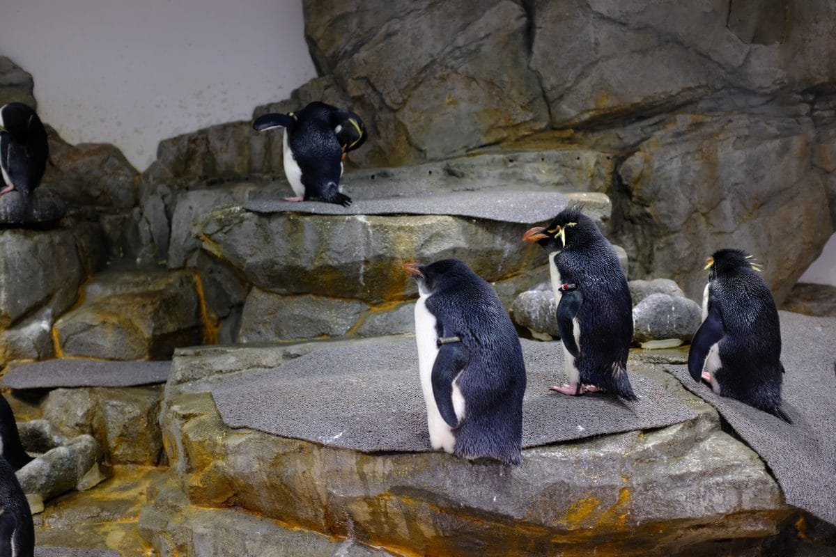 Aquarium in Chicago gesperrt: Pinguine erkunden Zoogehege