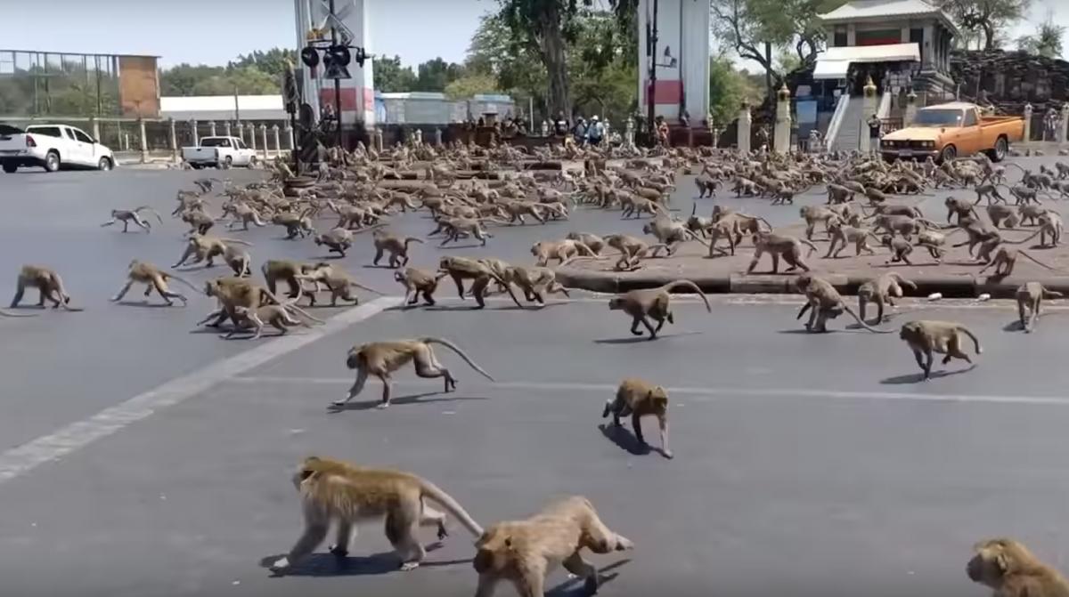 Diese Stadt wird wegen des Coronavirus von Affen überrannt
