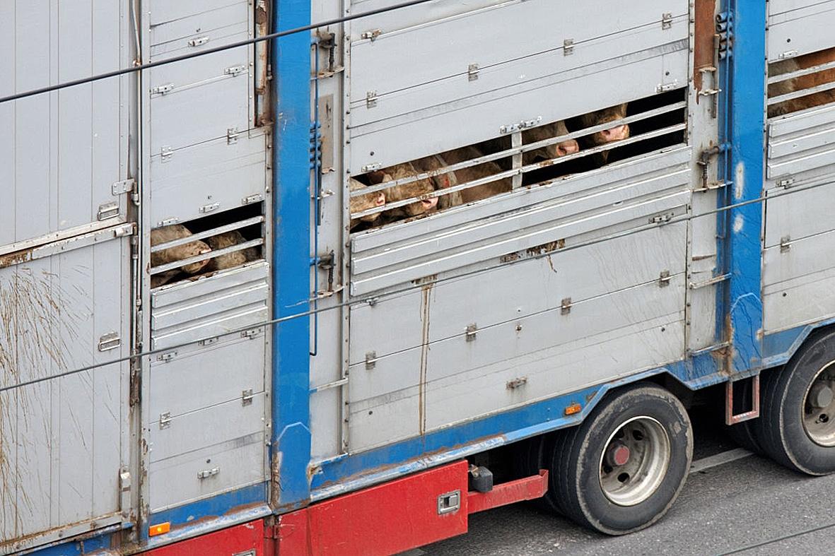 """Corona-Krise: Staus an den EU-Grenzen – Tiertransporte werden zu """"Höllenfahrten"""""""