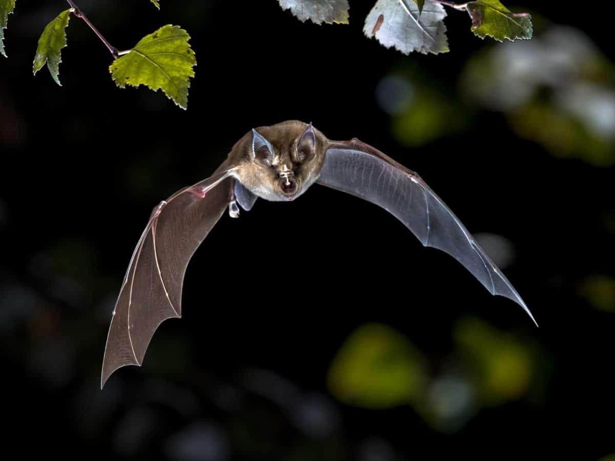 Coronavirus-Pandemie: Waren gestresste Fledermäuse der Auslöser?