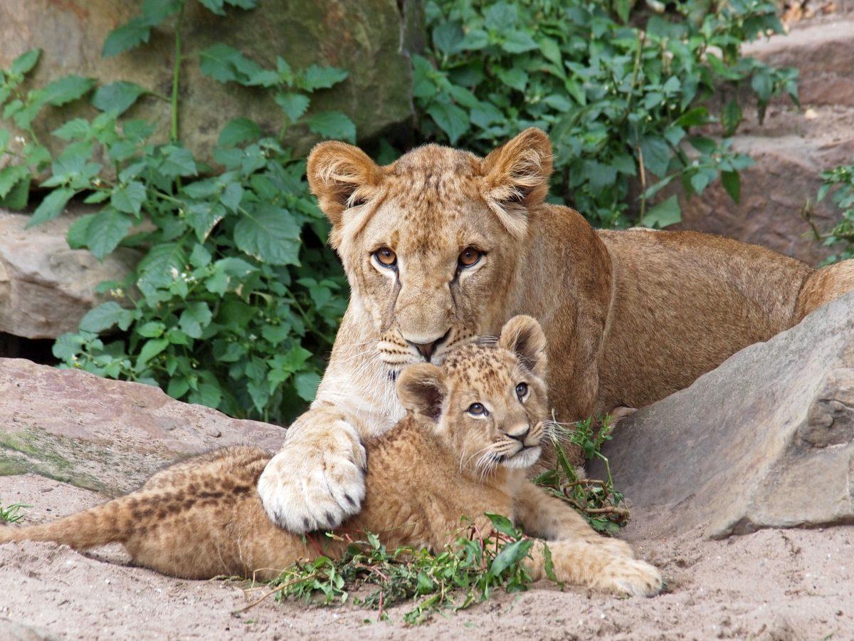 Leipziger Zoo: Löwin tötet zwei ihrer Jungen