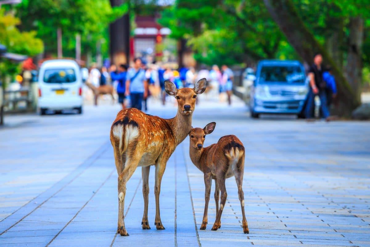 Japan: Nara-Hirsche verlassen Tierpark und spazieren durch die Stadt