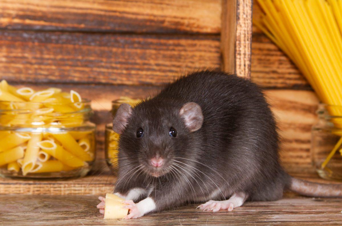 In New York fressen Ratten Bagels, in Paris hingegen Croissants