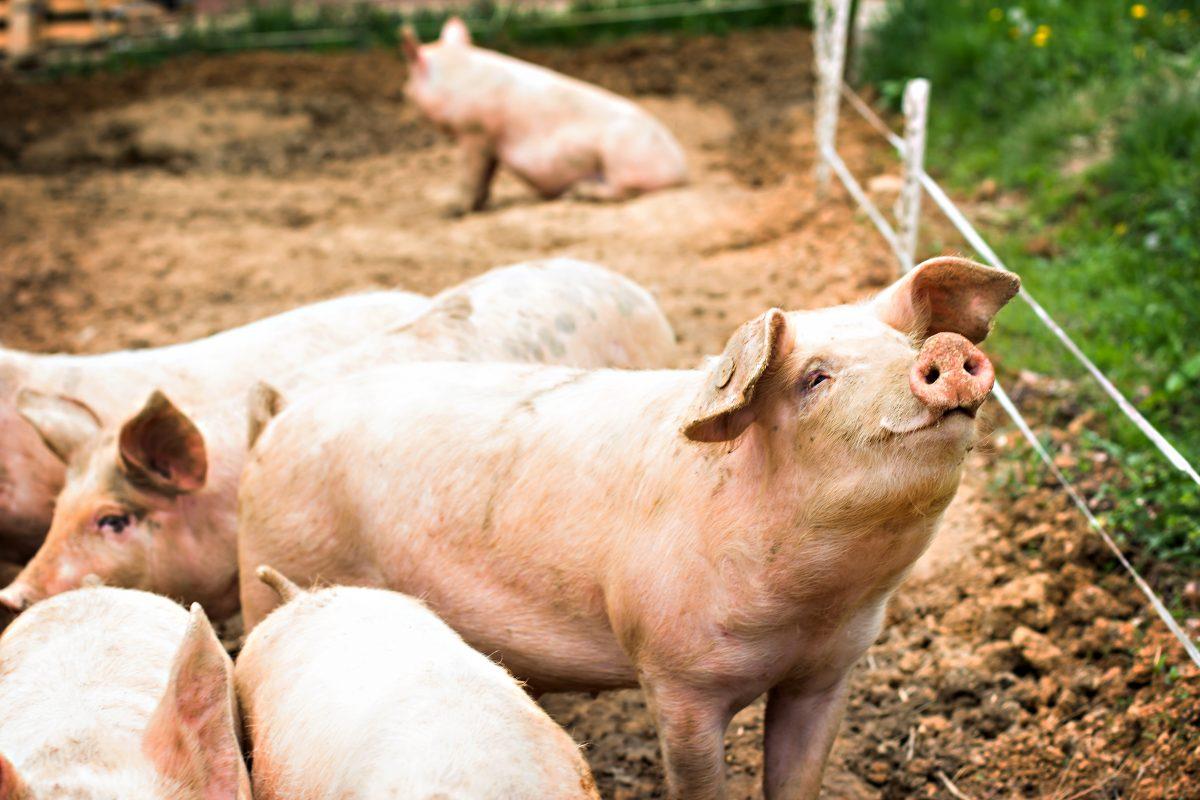 Schwein verschluckt Schrittzähler und löst Brand aus