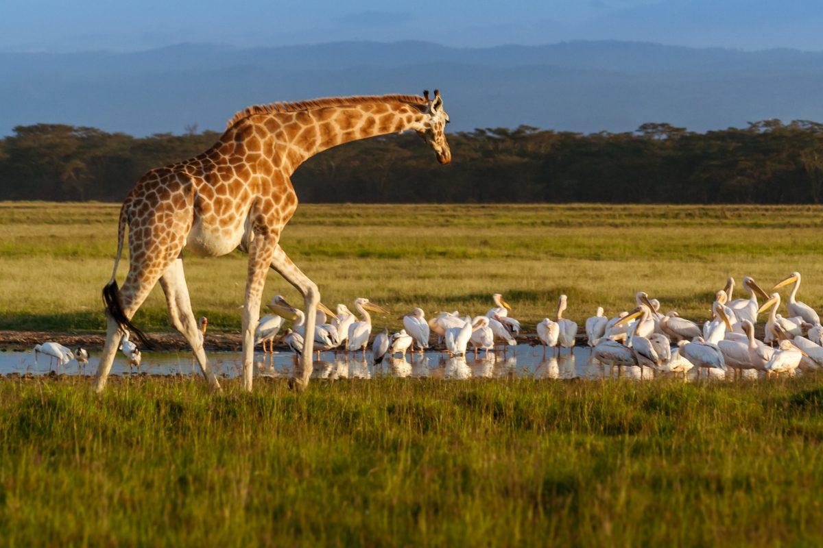 Seltene weiße Giraffe und Baby in Kenia getötet