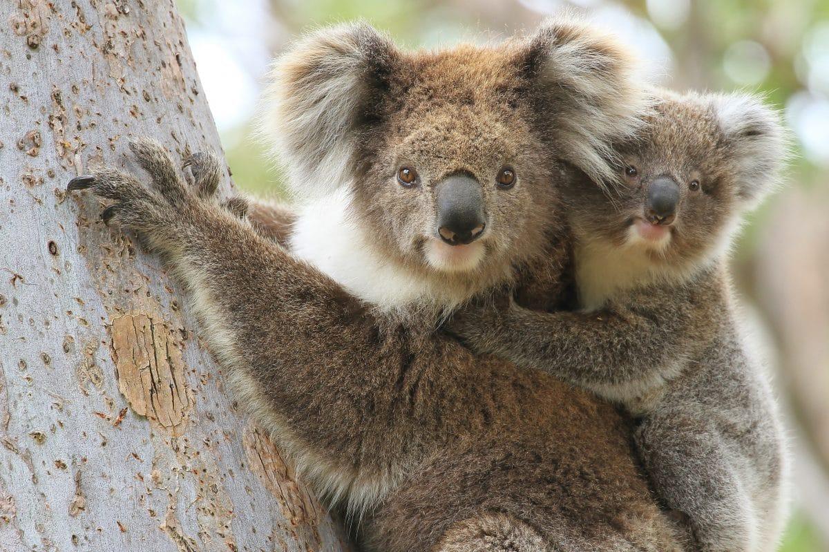 Australien: Koalas nach Buschfeuern geheilt und in Wildnis entlassen