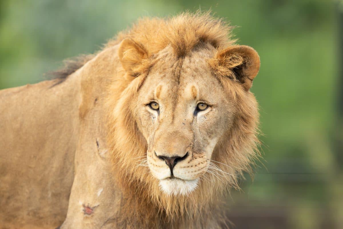 Lockdown in Südafrika: Löwen schlafen auf der Straße