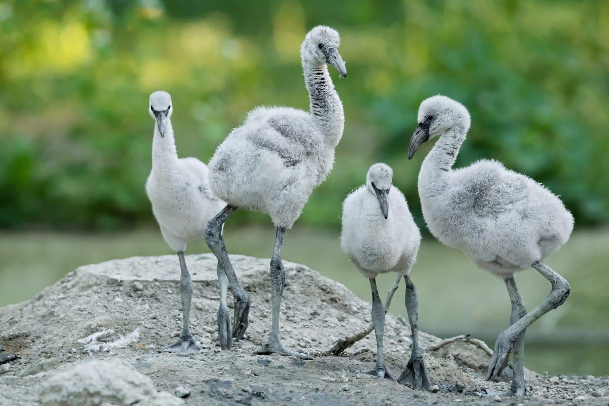 Flamingo-Küken in Schönbrunn geschlüpft