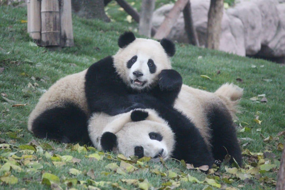 Hongkong: Pandas in Zoo haben wieder Sex, weil keine Besucher stören