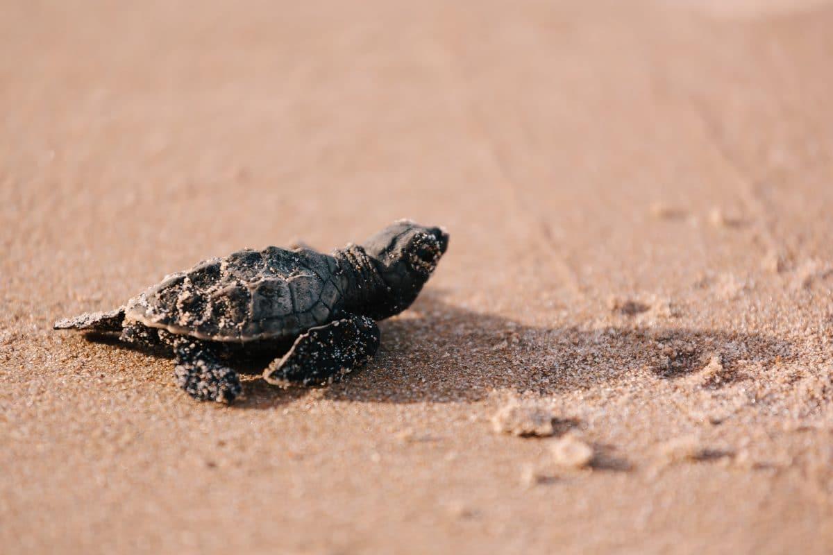Coronavirus: Schildkrötenbaby-Boom wegen leeren Stränden