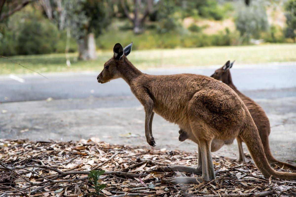 Video: Känguru hoppelt durch Stadtzentrum in Australien