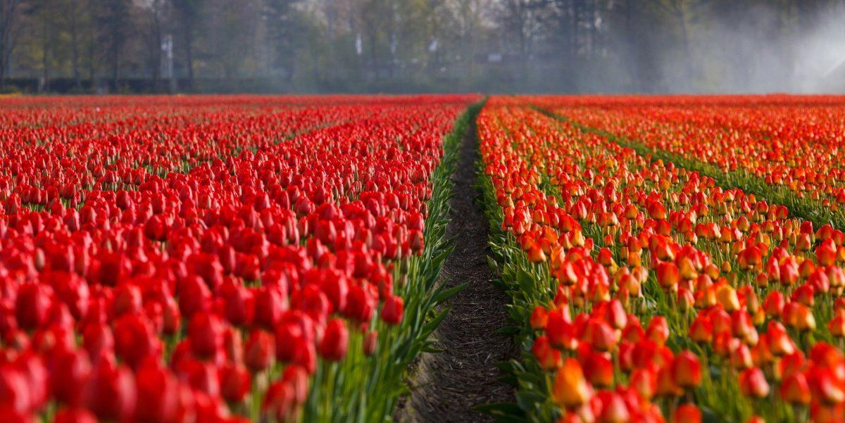 Niederländer schreddern Millionen Tulpen als Reaktion auf das Coronavirus