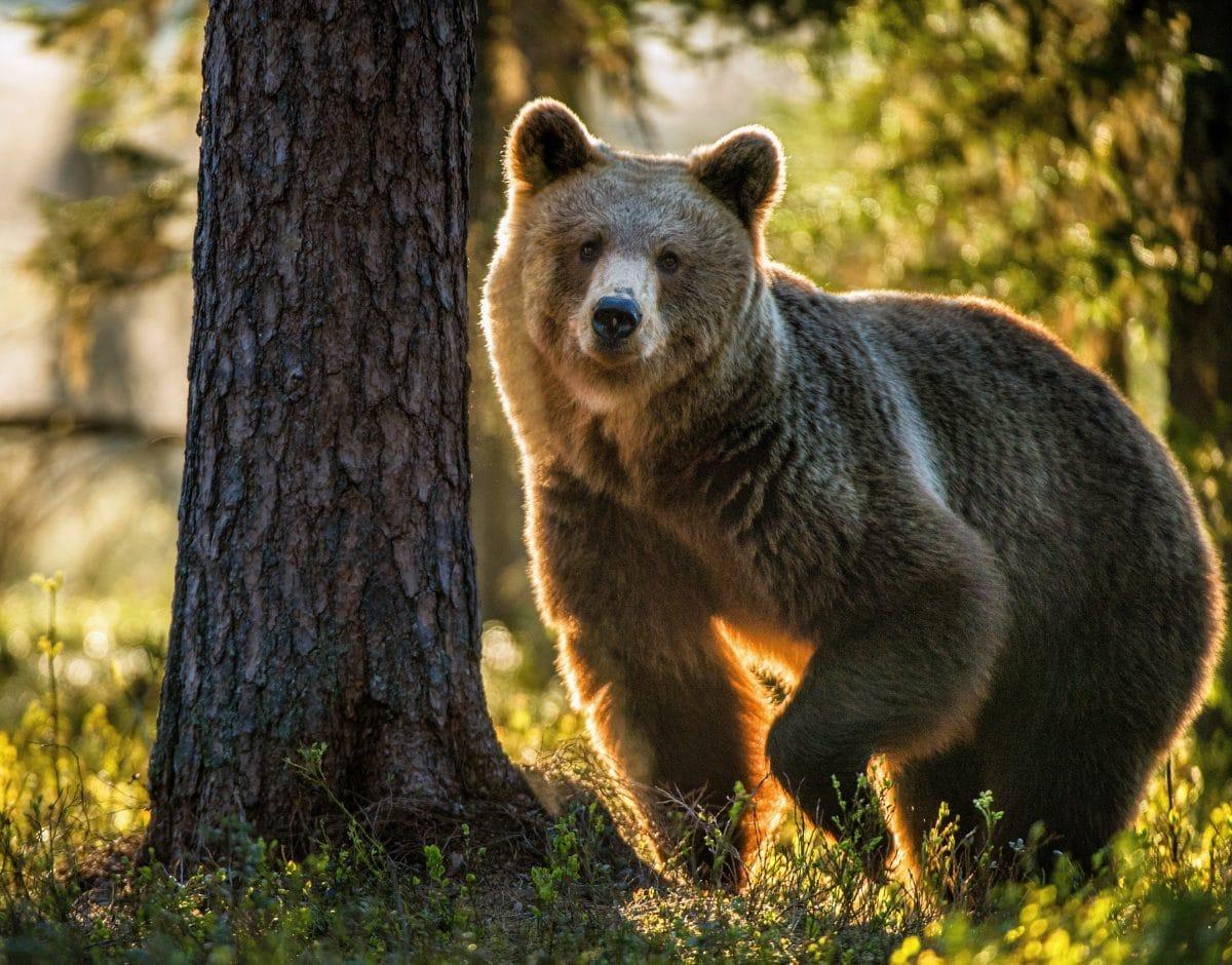 Bären-Alarm in Estlands Hauptstadt: Tiere laufen auf Straße herum