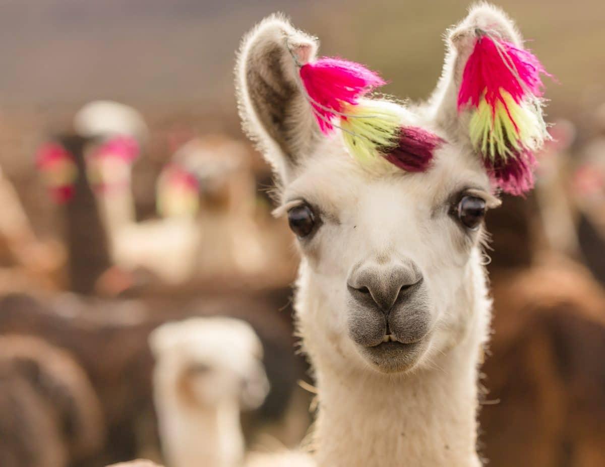 Helfen Lamas bei Corona-Therapie?