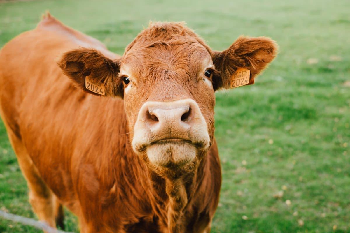 Kühe für mysteriöse Google-Ausfälle verantwortlich