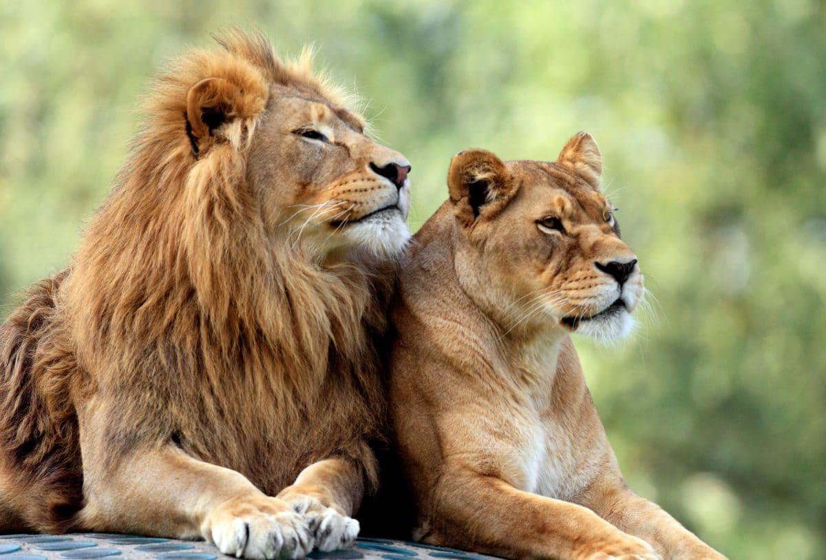 Löwen attackieren Tierpflegerin in australischem Zoo