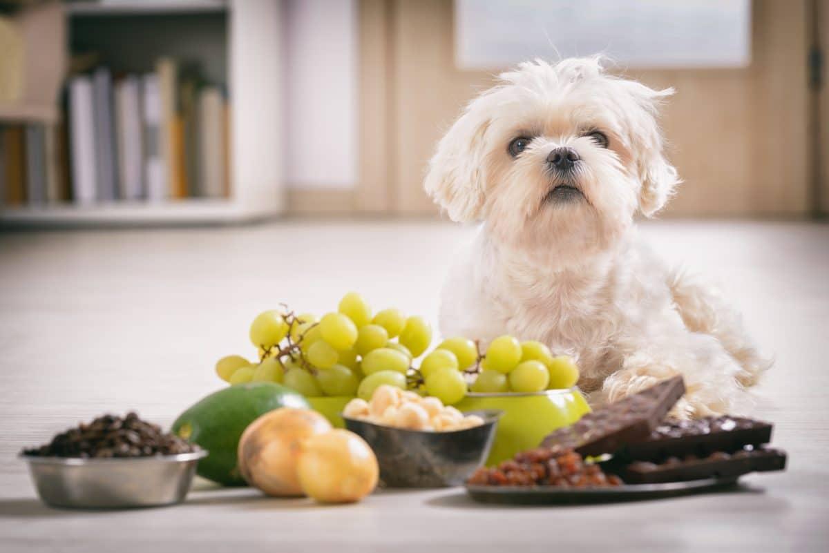 Diese Lebensmittel sind für Hunde giftig und gefährlich