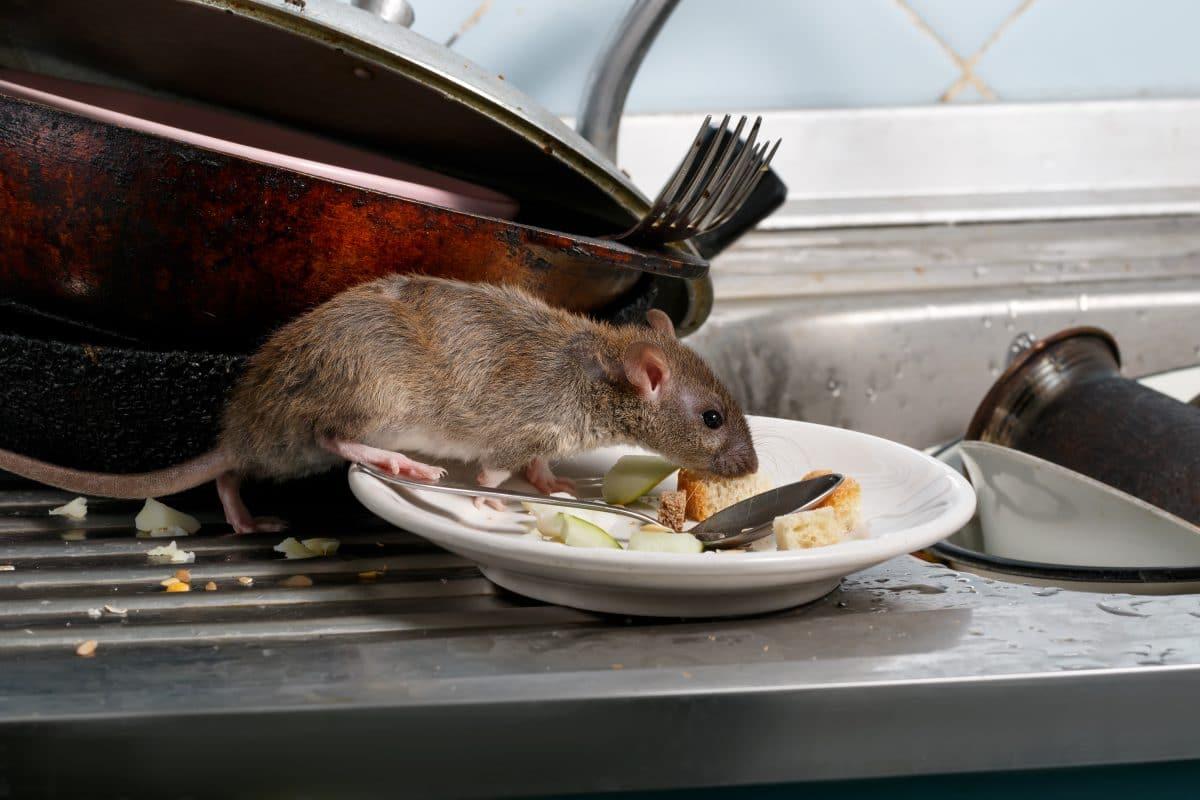 Studie zeigt: Ratten riechen Hunger ihrer Artgenossen