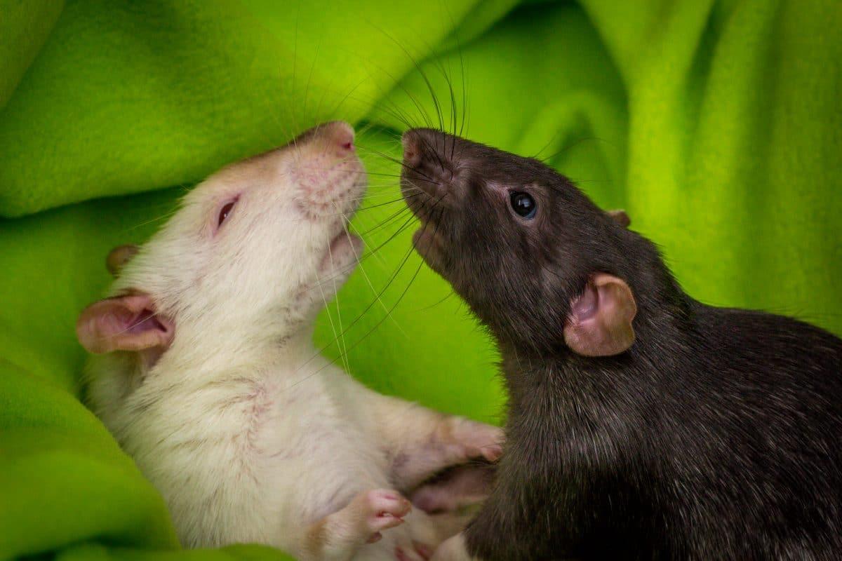 Warnung vor hungrigen, aggressiven Ratten während der Pandemie