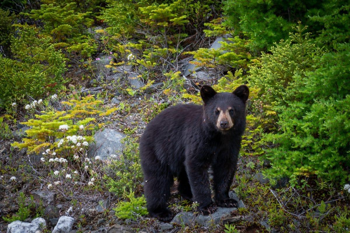 Bär attackiert Wanderer in den Dolomiten