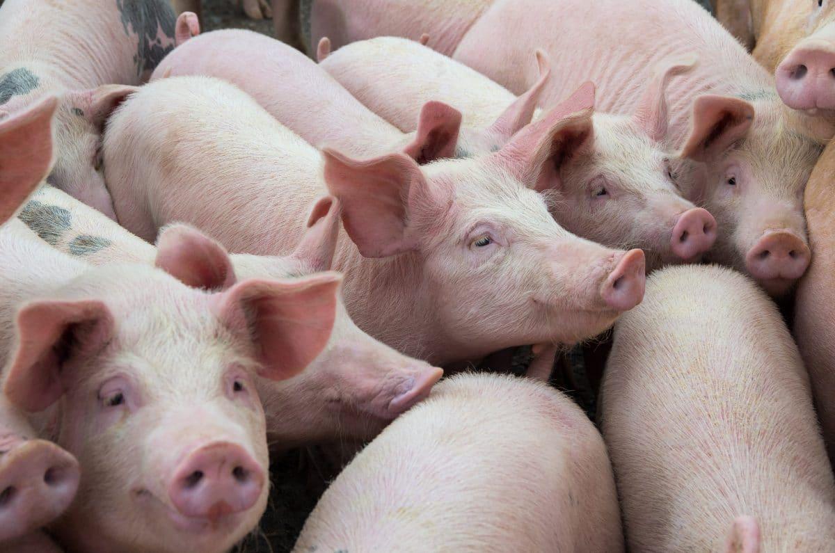 Forscher in China entdecken neues Schweinegrippe-Virus mit Pandemie-Risiko