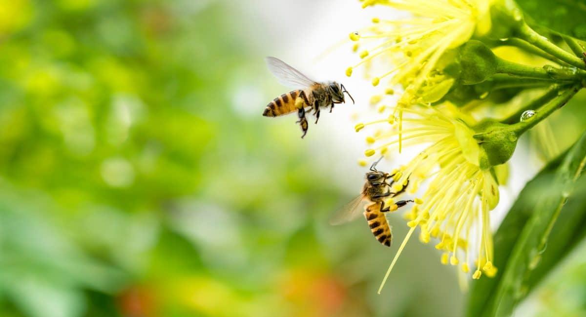 Bienenköniginnen können quaken: Forscher nehmen ihre Laute auf