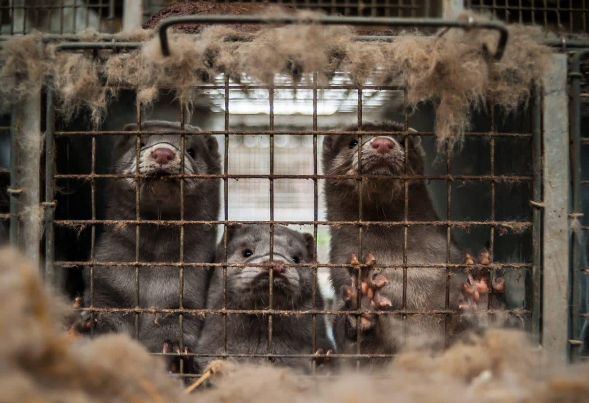 Niederlande wollen Nerzfarmen verbieten