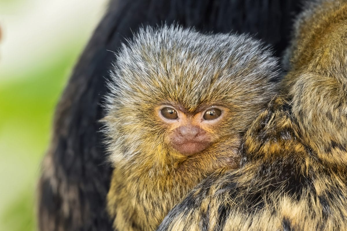 Daumengroßes Affenbaby in Schönbrunn geboren: Süßes Video