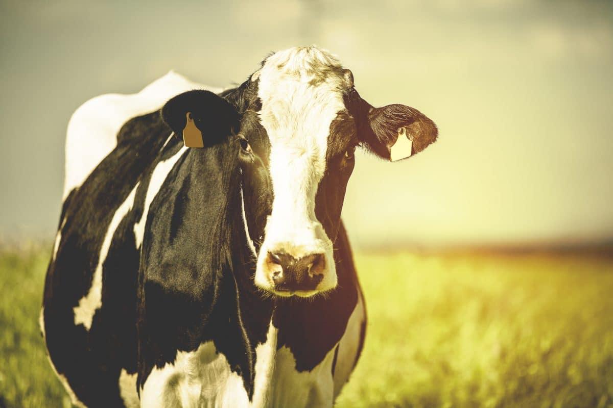 Steiermark: Kuh von Feuerwehr aus Pool gerettet