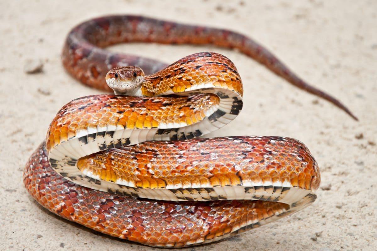 Tierquäler verknoten Schlange und lassen sie tot auf Straße liegen