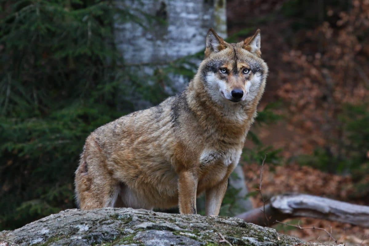 Wolf in Salzburg zum Abschuss freigegeben: Kritik von WWF