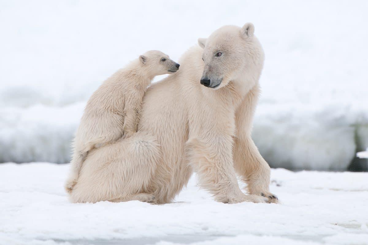 Das Aussterben von Eisbären ist so gut wie sicher
