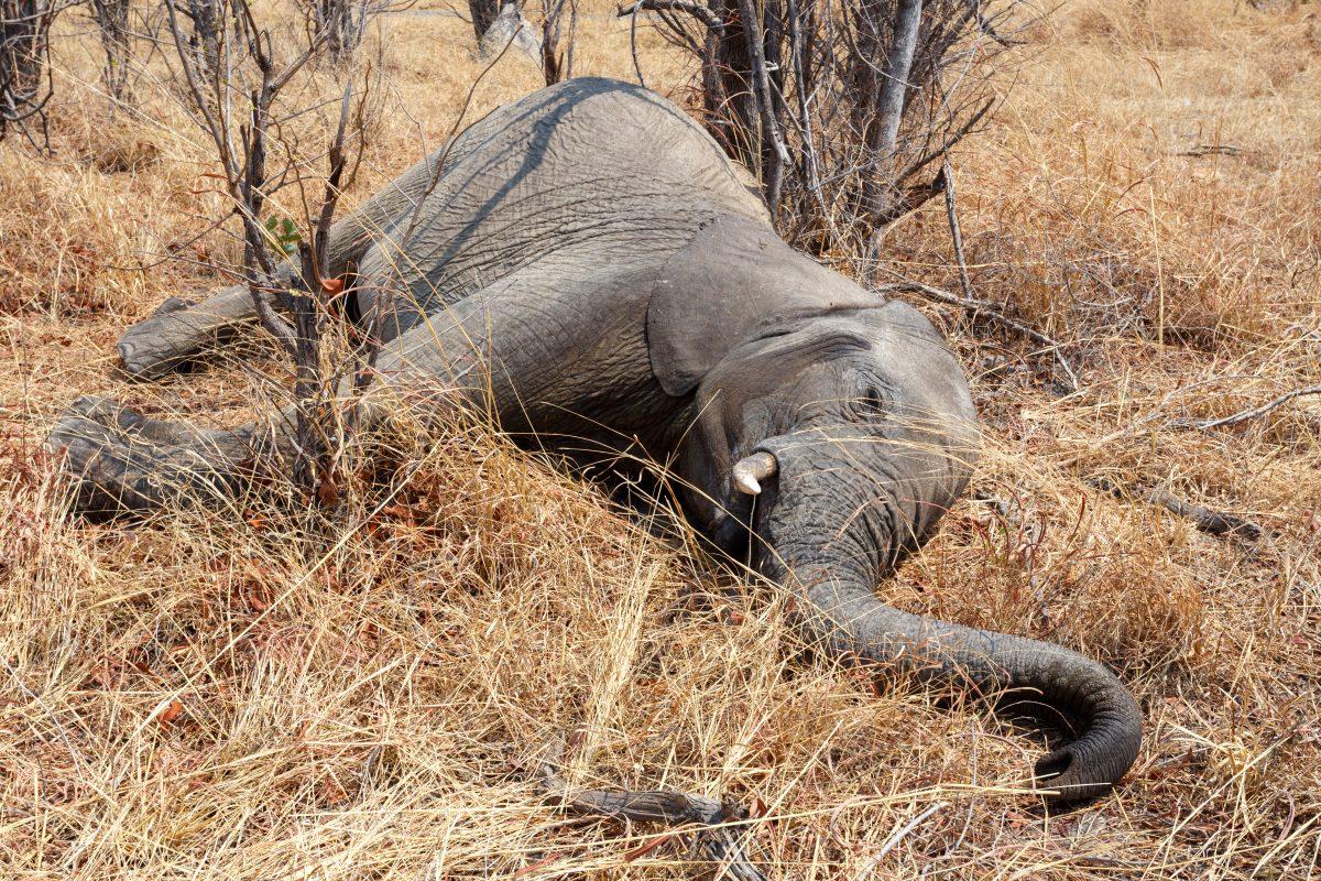 In Botswana starben hunderte Elefanten auf mysteriöse Weise