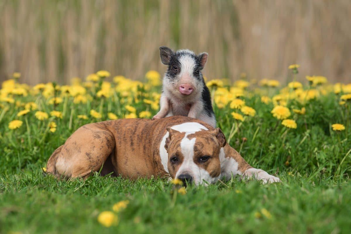 Hausschweine können Probleme besser lösen als Hunde