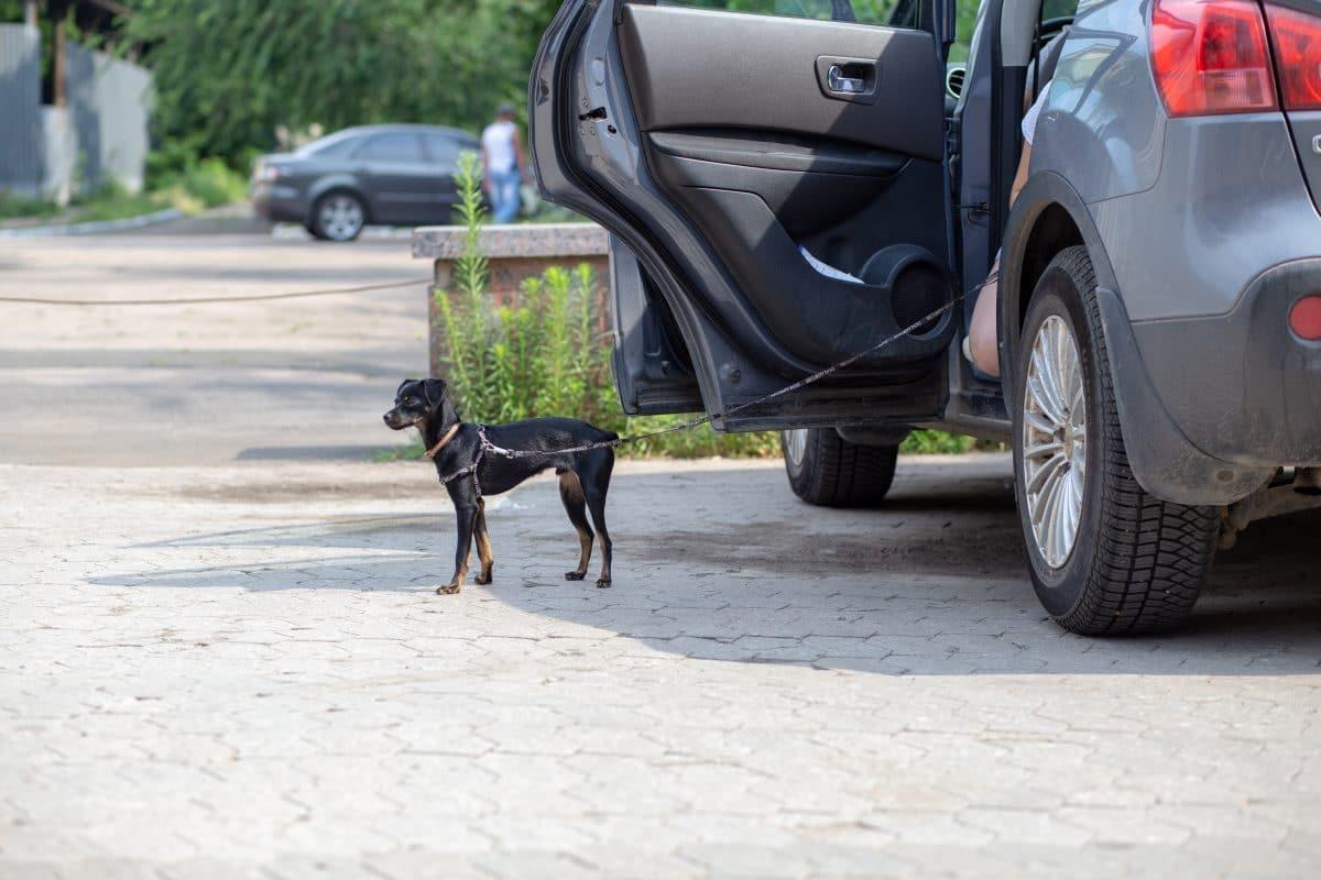 Mann schleift aus Versehen an Auto angeleinten Hund mit