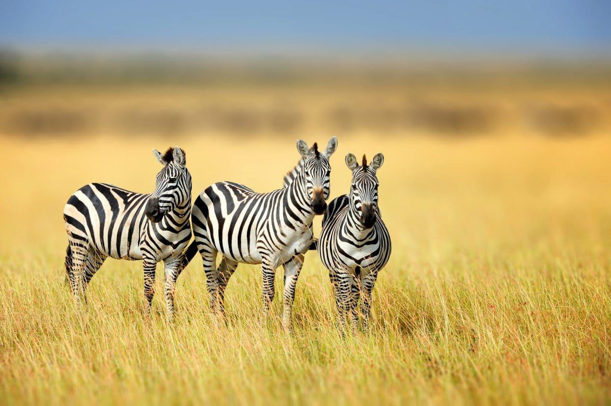Optische Täuschung verwirrt User: Zu welchem Zebra gehört der Kopf?