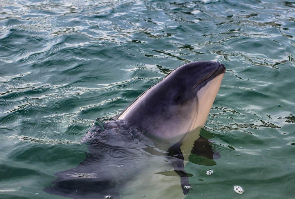Schweinswal laut Greenpeace-Report vom Aussterben bedroht