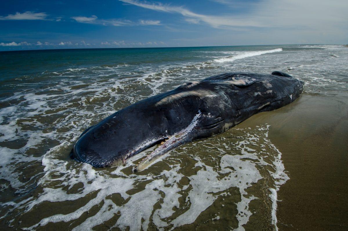 Riesiger toter Wal an Küste in Indonesien angeschwemmt