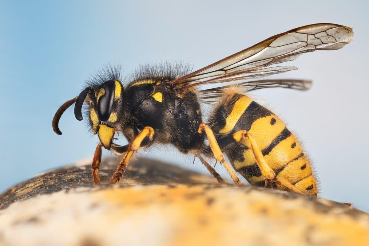 Mit diesen 4 einfachen Tricks wirst du Wespen im Sommer los