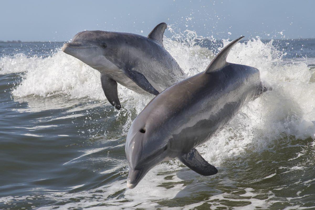 In Japan beginnt wieder die jährliche Treibjagd auf Delfine