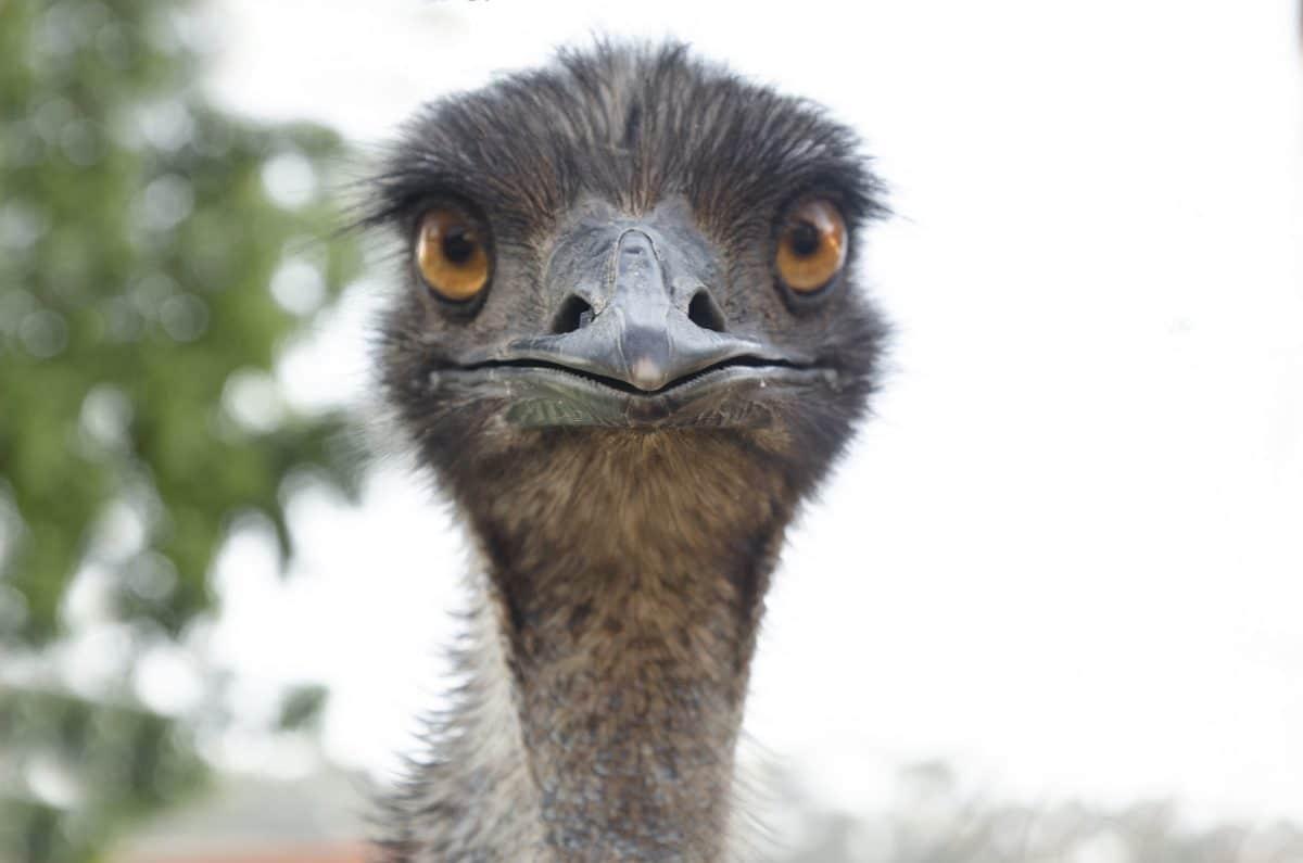 Tierquäler: Jugendliche verprügeln Emu mit einem Rechen