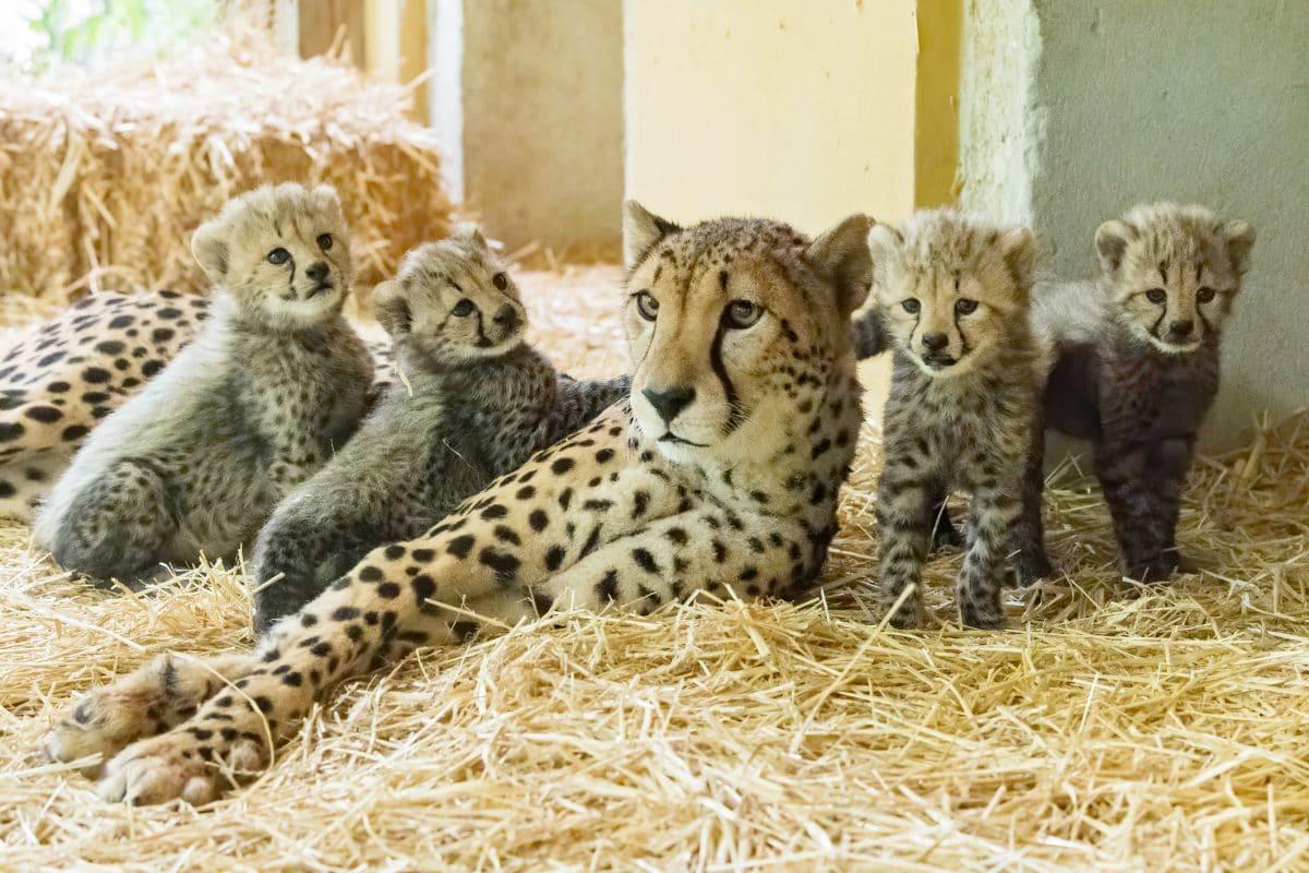 Vier Geparden-Babys in Schönbrunn geboren