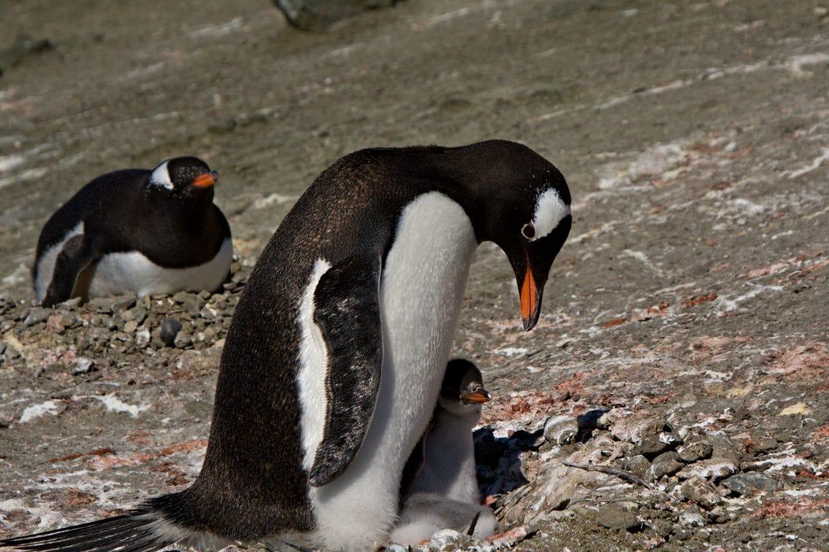 Lesbisches Pinguin-Paar in Valencia brütet adoptiertes Ei aus