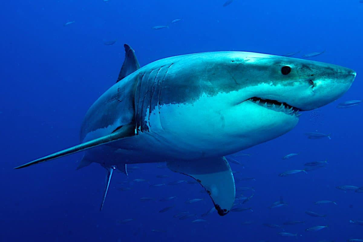 Australier verprügelt Hai: Frau vor Attacke gerettet