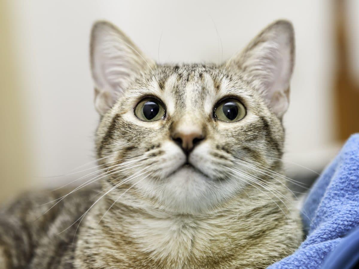 Tierquäler in Linz häutete Katze am Schwanz