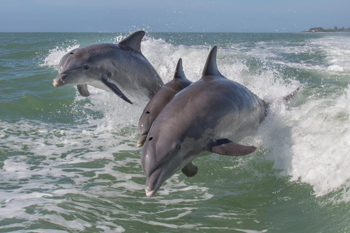 Ungeklärte Ursache: 18 Delfine am Strand von Mauritius verendet