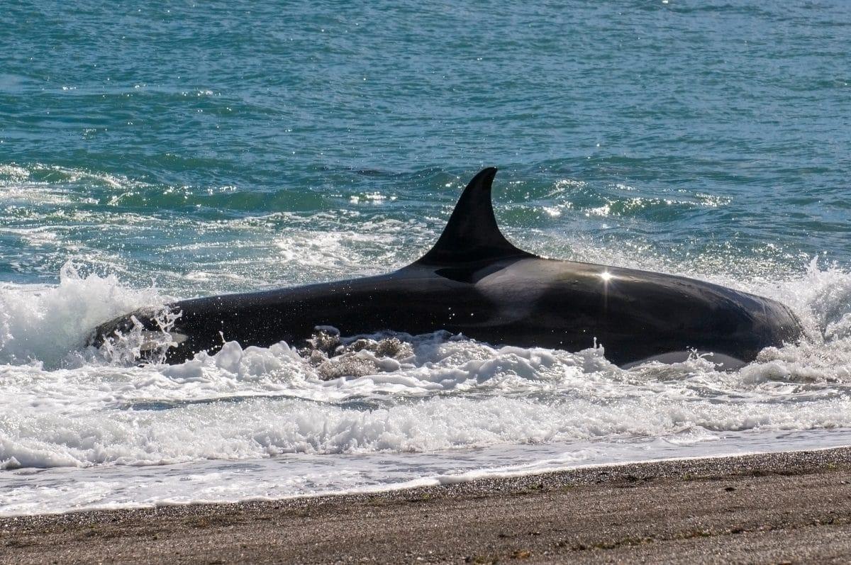 Sieben Wale in Irland angeschwemmt: Schaulustige machen Selfies