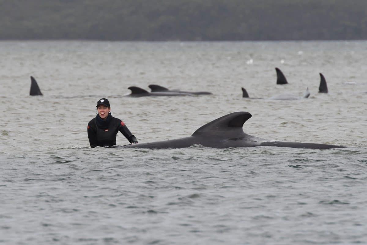 90 gestrandete Wale in Australien qualvoll verendet